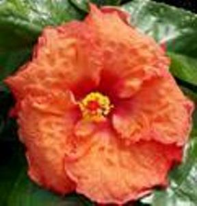 Bayou Rose James E Hendry Chapter Hibiscus